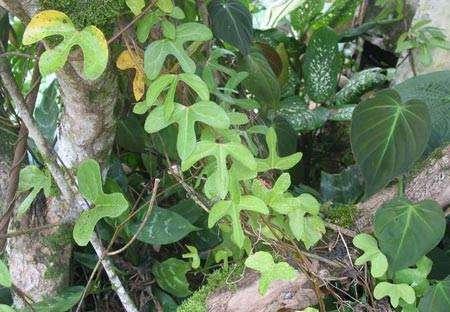 Aristolochia trilobata est une espèce utilisée en Guyane dans les préparations préventives du paludisme (les « amers »). © IRD, Geneviève Bourdy, tous droits de reproduction interdits