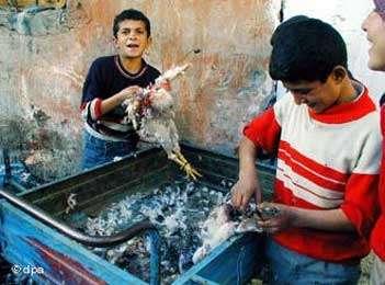 Les volailles peuvent être infectées. © 2006 Deutsche Welle, reproduction et utilisation interdites