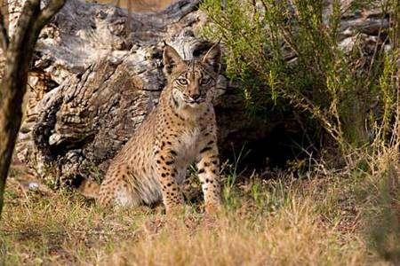 Le lynx ibérique. Crédit UICN
