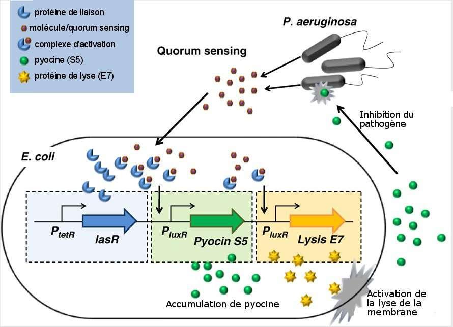 Mécanisme d'action de la bactérie E. coli transformée par biologie synthétique. Quand les pathogènes sont en nombre important, ils relâchent une molécule. Celle-ci se lie avec une protéine de liaison synthétisée par E. coli. Cette liaison provoque l'activation de la synthèse de pyocine et la protéine de lyse (Lysis E7). Lorsque cette protéine atteint une quantité seuil, la membrane de E. coli est lysée et la pyocine est relâchée dans le milieu extérieur, ce qui provoque l'inhibition du pathogène. © Saeidi et al., 2011/Adaptation Futura-Sciences