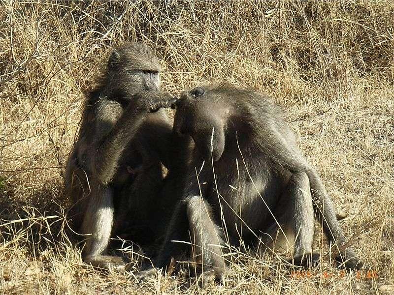 Toilettage chez les babouins chacmas. © Stan Stanton-Reid, domaine public