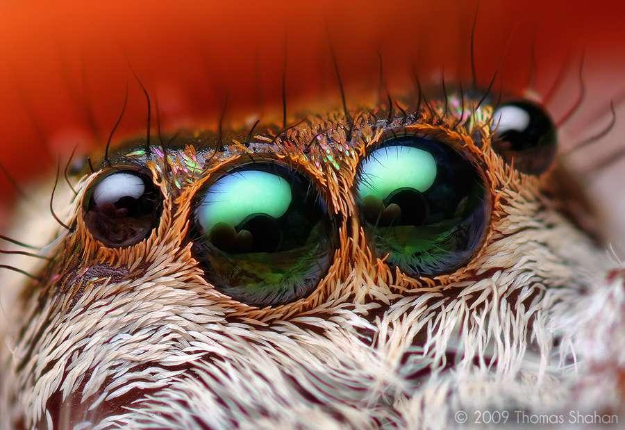 Les yeux de l'araignée Paraphidippus aurantius
