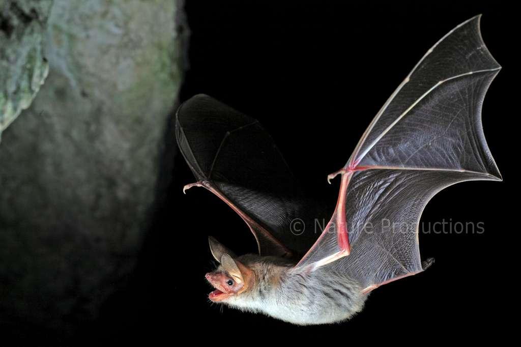 Avec une quarantaine de centimètres d'envergure, le grand murin s'engage dans une chasse aux coléoptères. © P. Sabine, DR