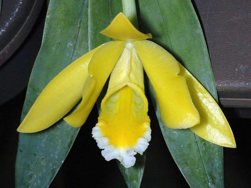 Orchidée Euchile citrina