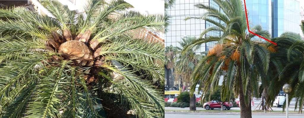 Exemples de palmiers infectés par des charançons. Celui de gauche a été assaini en coupant ses palmes et en retirant les parties pourries, exposant son cœur. Celui de gauche présente un signe d'infestation qui se manifeste par une asymétrie des palmes. © Cavem