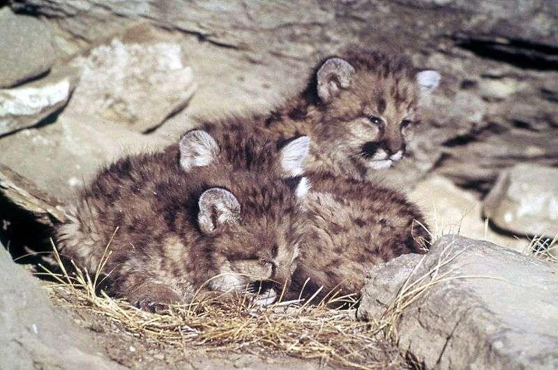 Chatons de puma. © WL Miller National Park service, domaine public