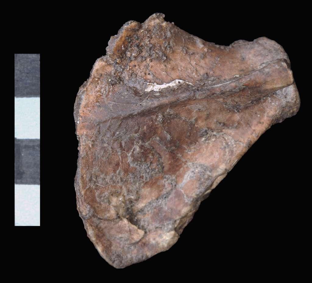 Vue dorsale de l'omoplate droite de Selam. Le squelette Dik-1-1 serait le plus complet jamais trouvé pour un Australopithecus afarensis. La barre d'échelle mesure 4 cm. © Zeray Alemseged, Dikika Research Project