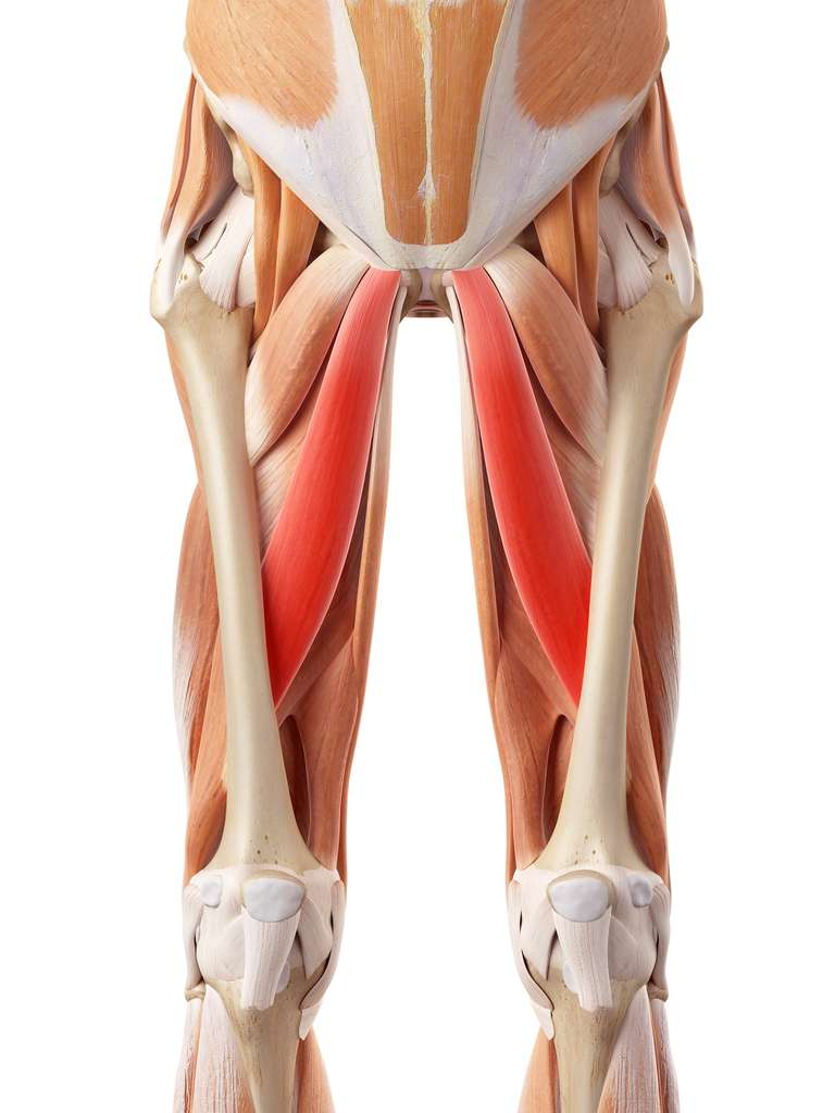 Localisation des muscles longs adducteurs (en rouge). © Sebastian Kaulitzki, Shutterstock