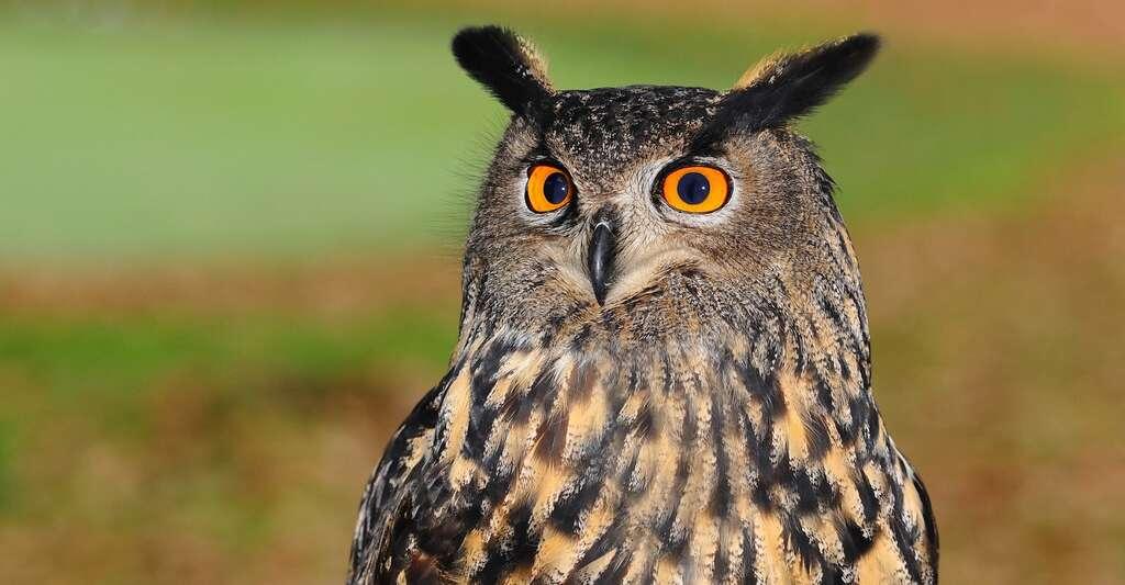 La tête du hibou est ornée d'aigrettes, des touffes de plumes qui n'ont aucune fonction auditive. © TonW, Pixabay, DP