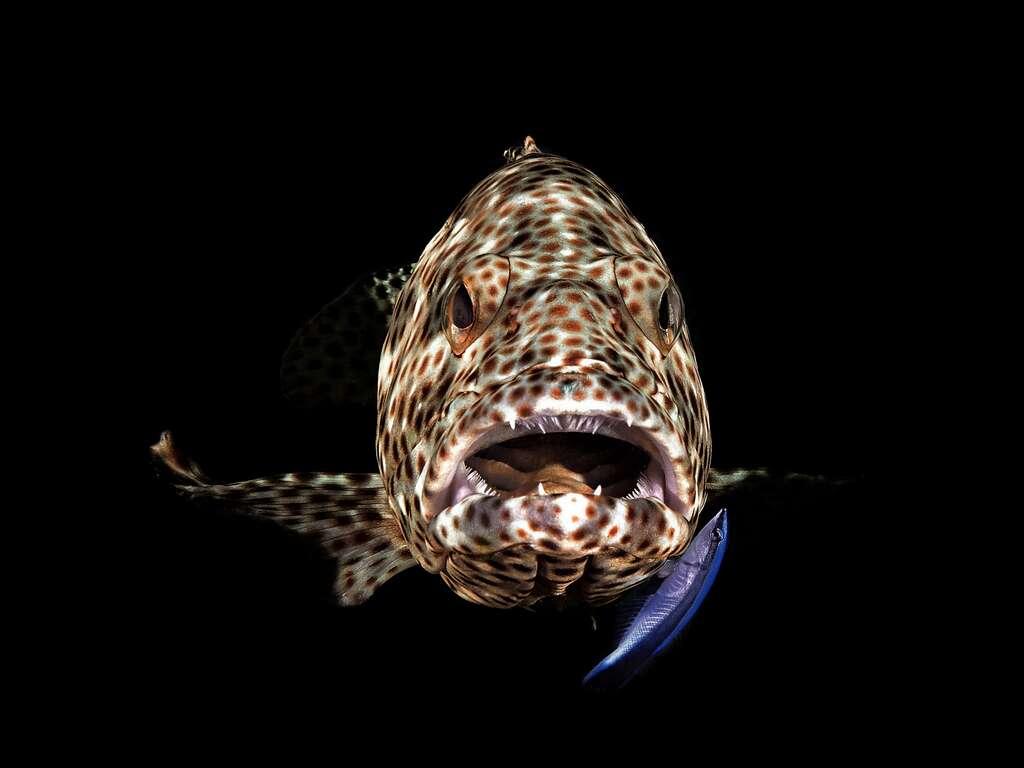 Mérou bouche ouverte (Égypte). © Ferenc Lorincz, Ocean Art