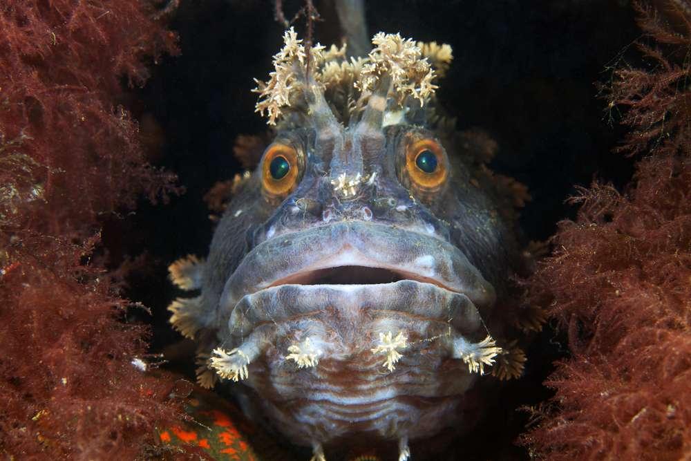 Un poisson bien intrigué : Chirolophis japonicus