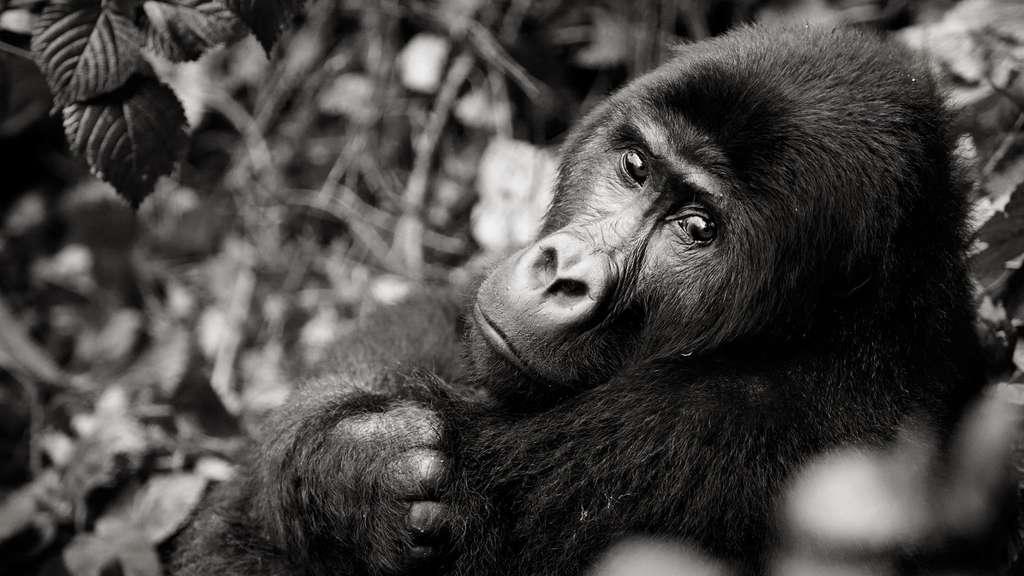 Gorille de l'est