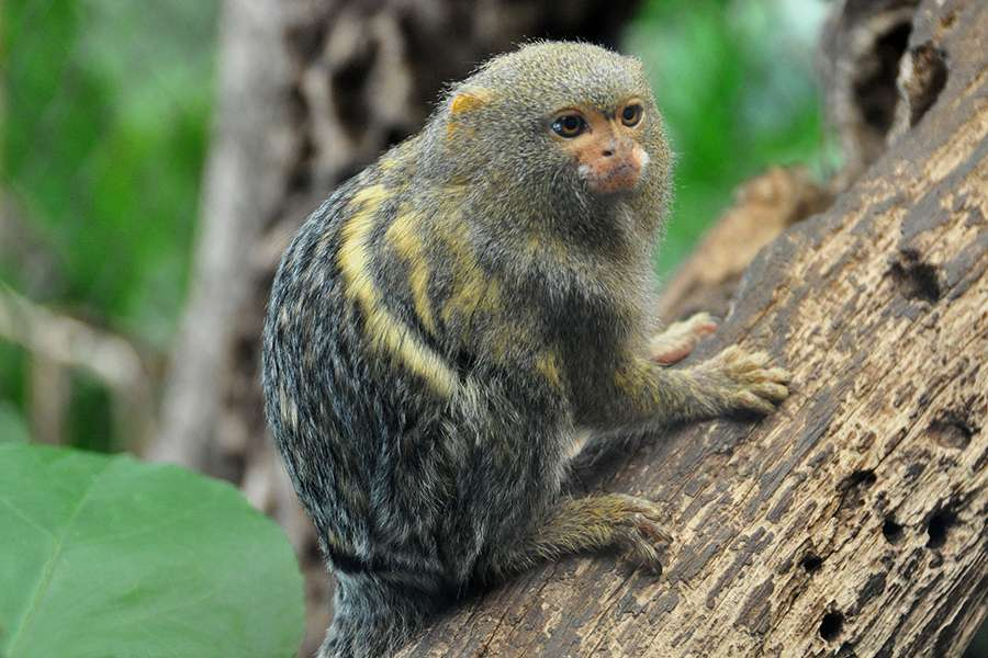 Les Callithrix pygmaea nouveau-nés sont tellement petits qu'il faut une loupe pour observer leurs doigts. Le processus de nanisme ayant affecté le ouistiti pygmée a pris des millions d'années. © Drriss, Flickr, cc by nc sa 2.0