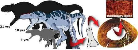 Une zone correspondant à de l'os médullaire (medullary bone en anglais) a bien été trouvé dans un tibia d'Allosaure. Cliquez pour agrandir. Crédit : Andrew Lee/Ohio University; fossil courtesy of the University of Utah