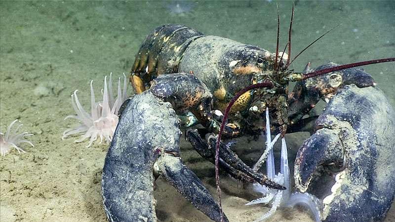 Les créatures des profondeurs n'ont plus qu'à attendre que la nourriture leur tombe dans la bouche. © NOAA, Office of Ocean Exploration and Research