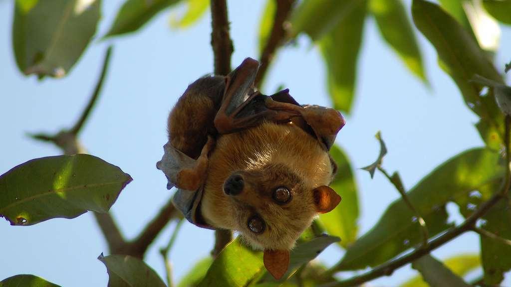 Une chauve-souris menacée par la chasse