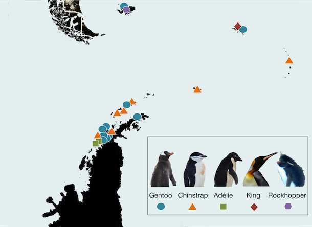 L'implantation des appareils photo surveillant les colonies de manchots. La plupart sont situés sur la Péninsule antarctique (en bas) et les autres sur les îles géologiquement reliées à l'Amérique du sud (dont la pointe est visible en haut à gauche) : les Orcades du Sud, les Sandwich du Sud, la Géorgie du Sud et les Malouines. Les codes couleur indiquent les espèces : Gentoo (Pygoscelis papua, manchot papou), Chinstrap (Pygoscelis antarctica, manchot à jugulaire), Adélie (Pygoscelis adeliae, manchot Adélie), King (Aptenodytes patagonicus, manchot royal) et Rockhopper (gorfous ou manchots à aigrettes). © Penguin Watch