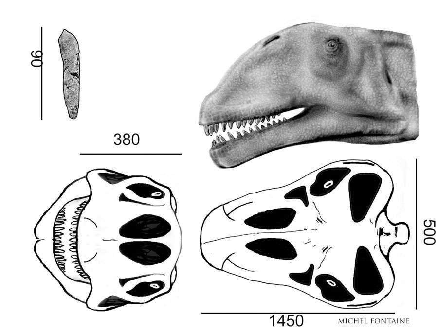 Atlasaurus détail du crâne