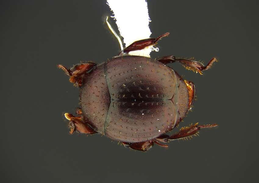 Nymphister kronaueri vit en harmonie avec les fourmis nomades. © D. Kronauer