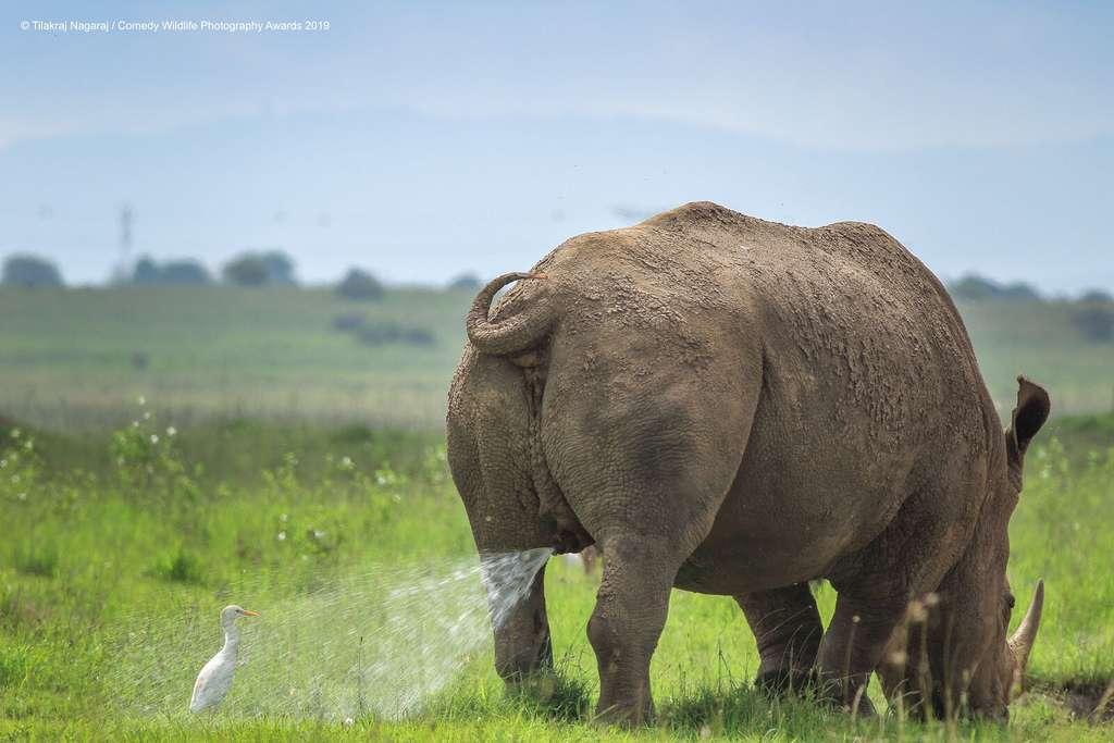 Cette aigrette blanche se fait asperger par ce rhinocéros qui broute paisiblement. © Tilakraj Nagaraj, Comedy Wildlife Photography Awards