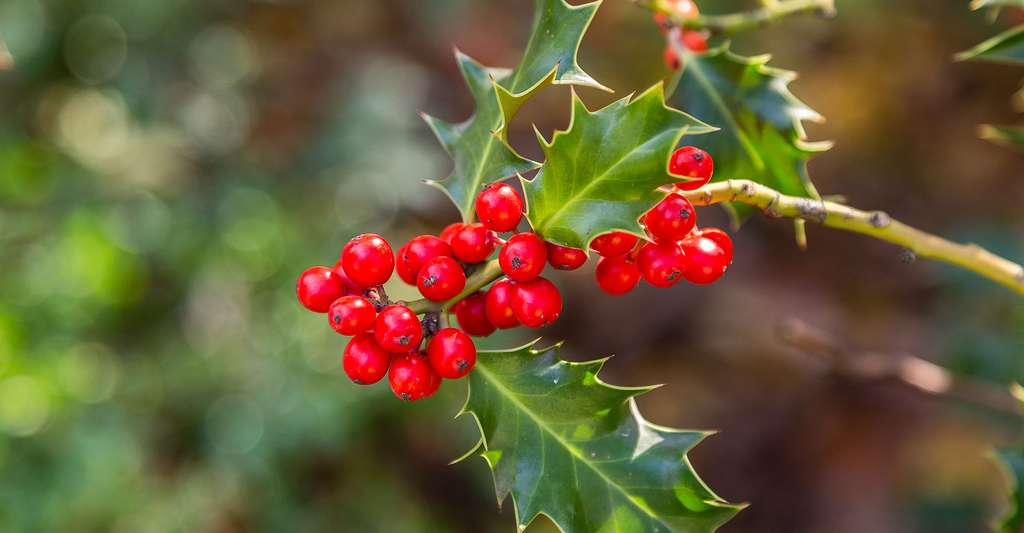 Certains arbres et arbustes sont toxiques. Ainsi, mieux vaut se méfier des fruits du houx. © Jose Luis Vega, Shutterstock