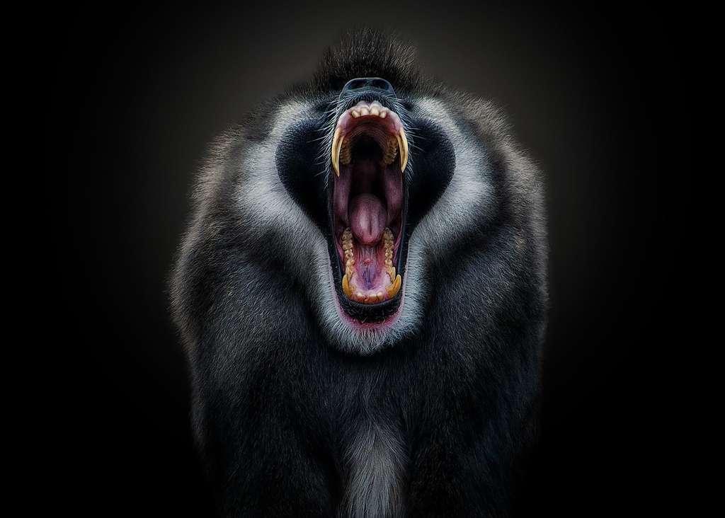 Le drill, un singe méconnu