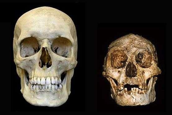 Comparaison entre un crâne humain contemporain et celui de l'Homme de Florès (en fait une femme) découvert en 2003 en Indonésie. Le volume occupé par le cerveau a été estimé à 380 cm3, une valeur impossible pour un Homo sapiens adulte. Erreur, affirme une nouvelle équipe, la bonne valeur serait 430 cm3, ce qui ramènerait la petite dame de Florès dans l'espèce à laquelle appartiennent les humains actuels. © Peter Brown