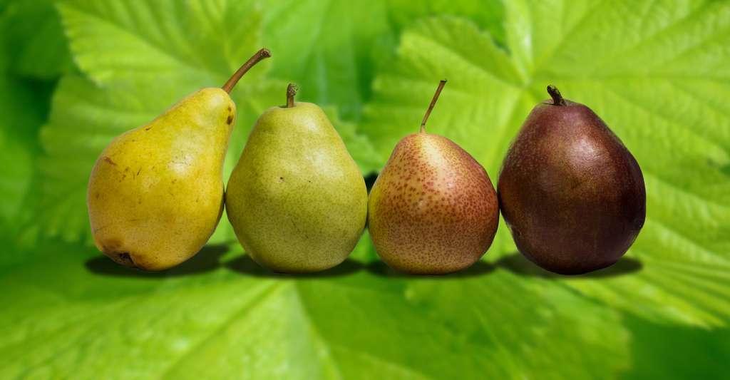 Le poirier : variétés et taille. Ici, de gauche à droite : Williams verte, Anjou, Forelle, Williams rouge. © Rhododendrites, Wikimedia Commons, CC by-sa 4.0
