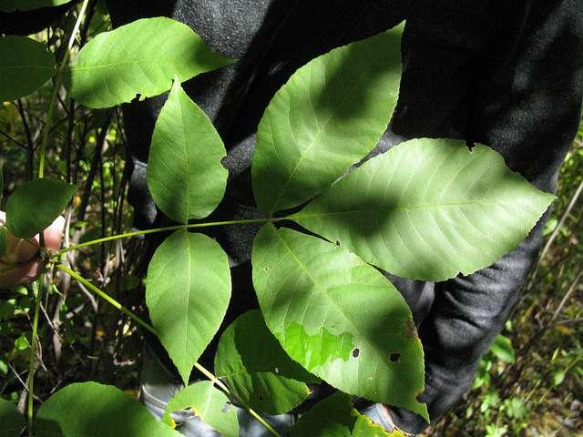 Carya cordiformis. © Jamie Richmond, Flickr CC by 2.0