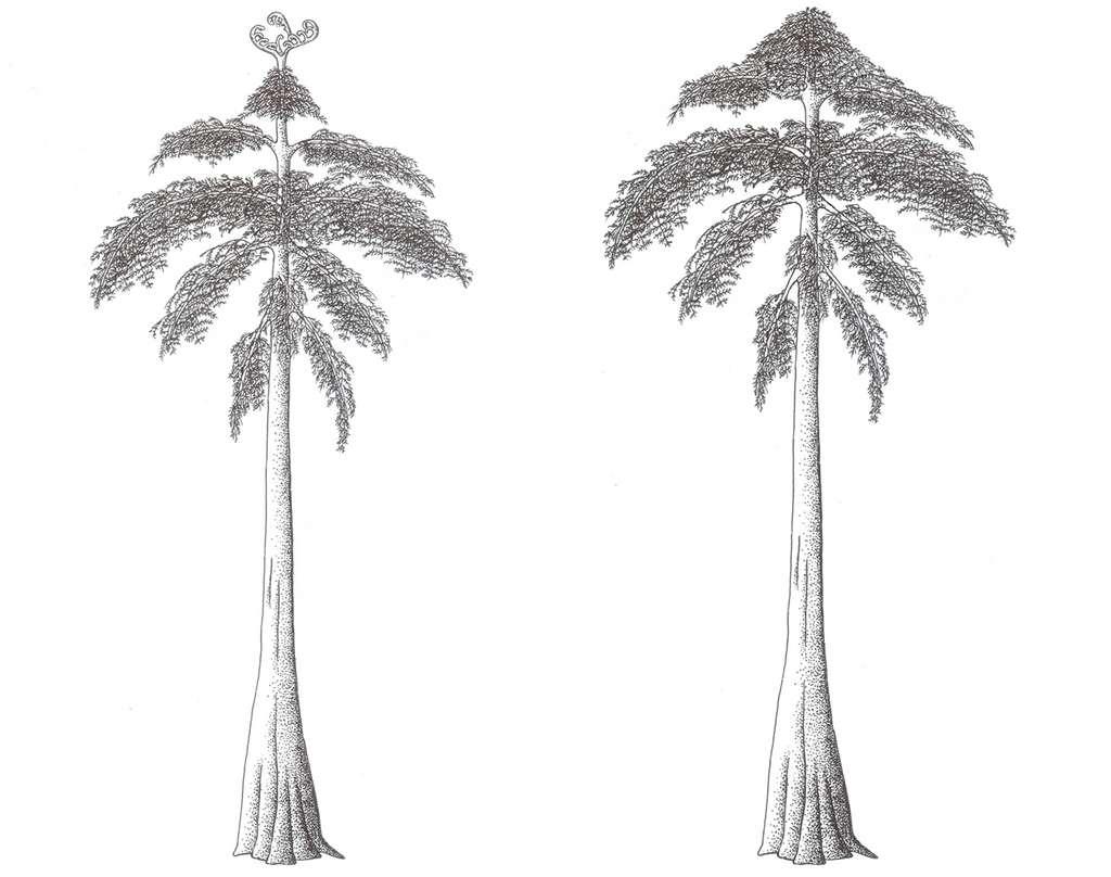 Reconstitutions d'un Eospermatopteris et d'un Archaeopteris, plantes fossiles. © Falconaumanni, Wikimedia Commons, CC by-sa 3.0, Futura