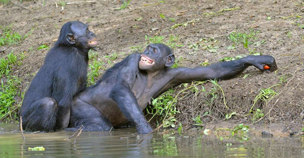 Les bonobos ont un os pénien d'environ 8 mm. © Sergey Uryadnikov, Shutterstock
