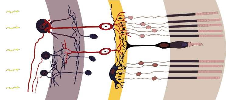 Notre cerveau est responsable de la vision des couleurs, à travers notre œil. Ici, coupe schématique de la rétine. À l'extrême droite : un cône entouré de plusieurs bâtonnets. © Chris, CC by-sa 3.0