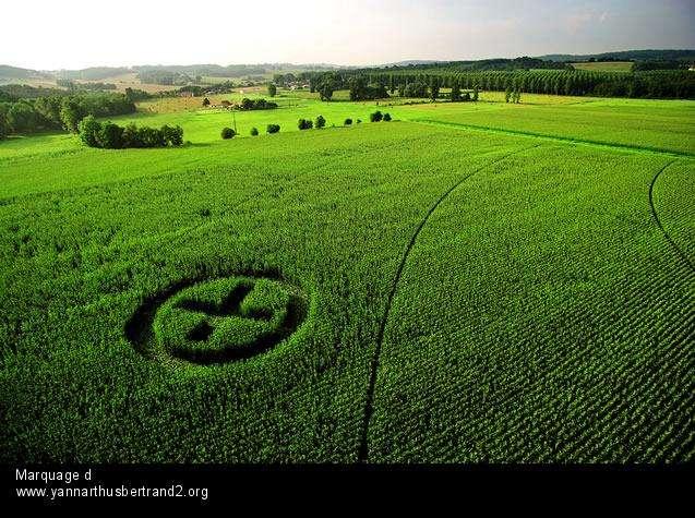 Champ de maïs OGM