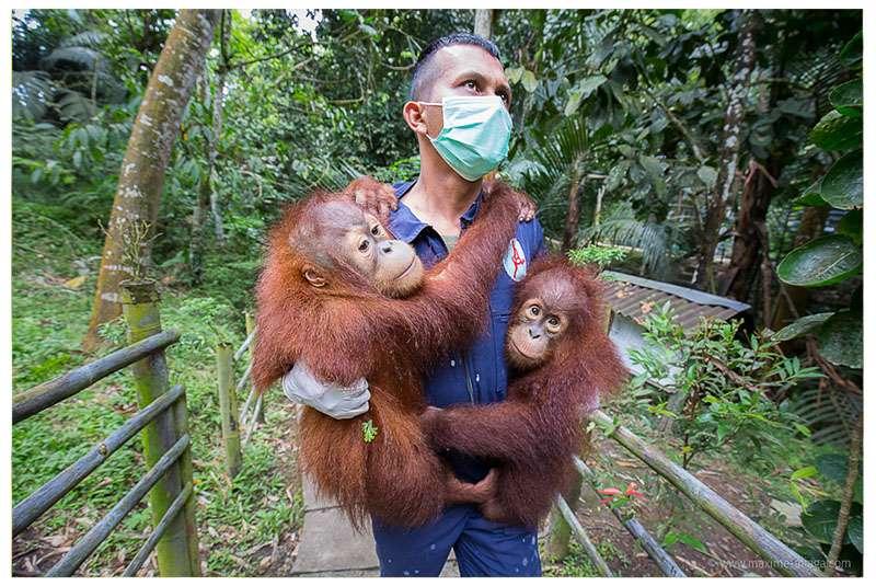 Le programme de conservation des orangs-outans de Sumatra (SOCP) veille à la sauvegarde des orangs-outans. © Maxime Aliaga, tous droits réservés