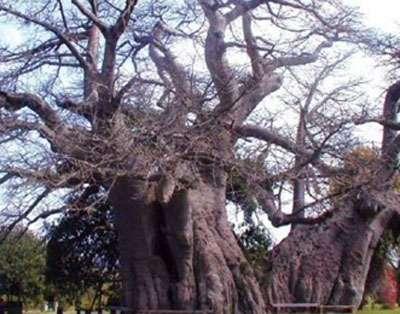 Baobab de Sagole en Afrique du Sud de nos jours. Reproduction et utilisation interdites