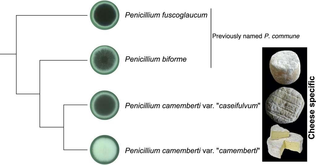 L'arbre génétique de la moisissure de camembert Penicillium camemberti. © Jeanne Ropars et al, Current Biology, 2020