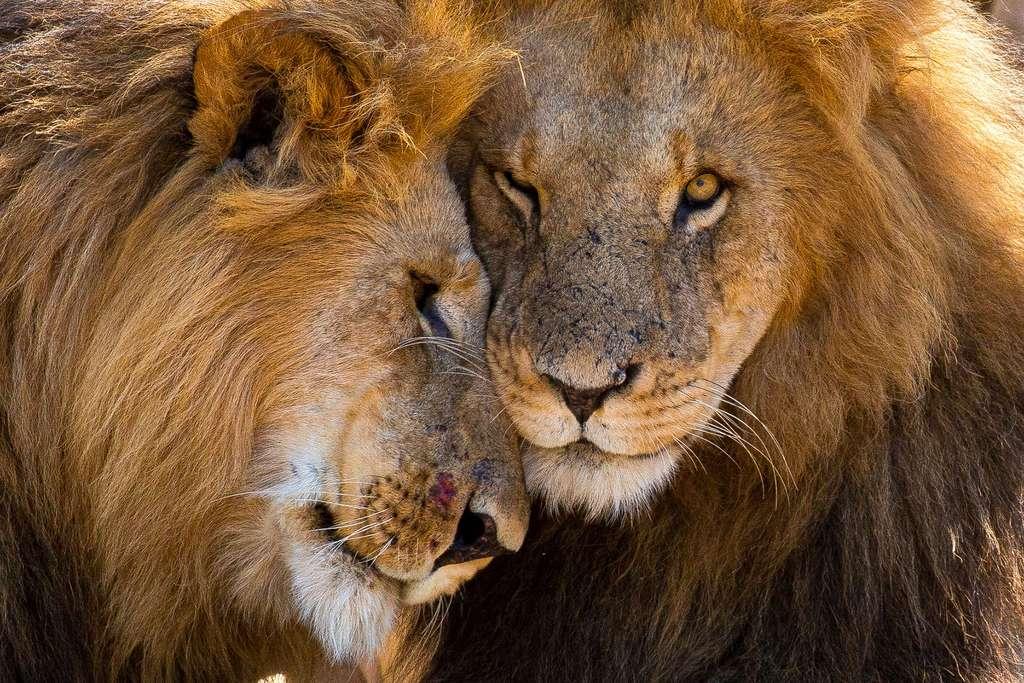 Lions, Ruaha National Park, Tanzanie. © Graeme Green, tous droits réservés