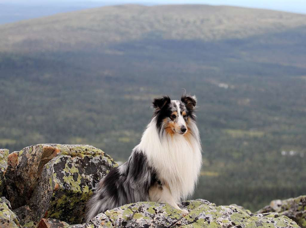 Berger des Shetland. © Ida, Flickr
