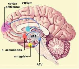 Le noyau accumbens est une structure neurale majeure du système de récompense, agissant dans la mise en place de la dépendance au tabac. © lecerveau.mcgill.ca
