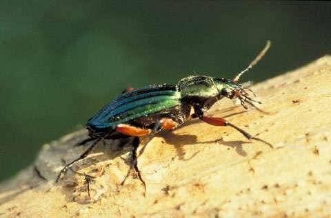 Carabe, coléoptère prédominant dans les prairies étudiées © INRA / A. Delplanque
