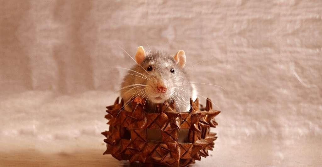 Chez le rat, les phtalates entraînent des baisses de fertilité et pourraient aussi être cancérigènes. © Lissa87 - Domaine public