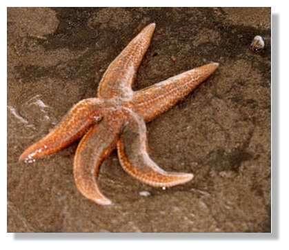 © Caroline Lepage – La bioaccumulation chez les étoiles de mer ?
