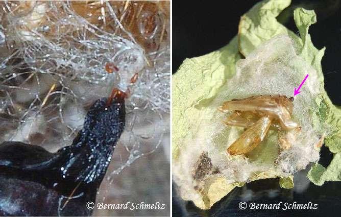 À gauche : seuls 8 crochets maintiennent la chrysalide de la Pyrale du Houblon. À droite : le crémaster est accroché à l'intérieur du cocon de soie (ouvert ici) tissé par la chenille du Lambda. © Bernard Schmeltz