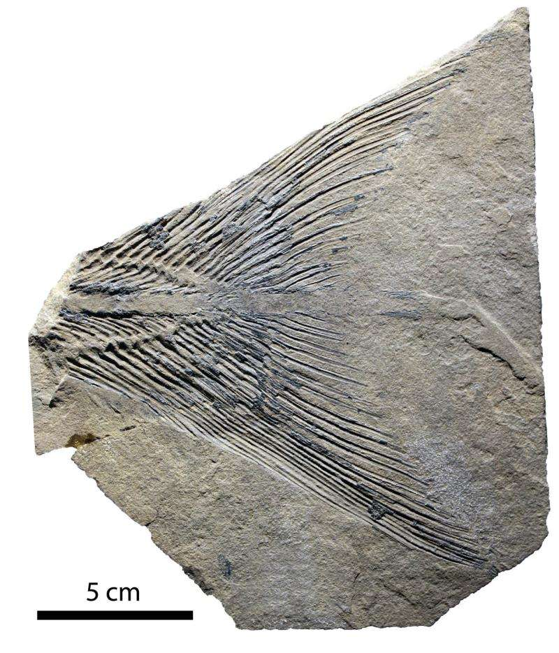 Empreinte fossile de la nageoire caudale du cœlacanthe Rebellatrix divaricerca. Cet appendice rigide (grâce à la fusion de plusieurs os) et symétrique prouve que ce Sarcoptérygien devait avoir un vie aquatique active. © Andrew Wendruff et Mark Wilson