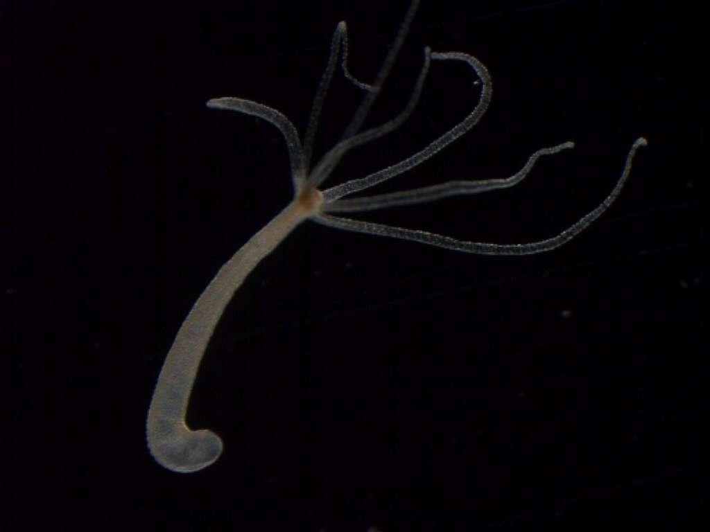 L'hydre d'eau douce Hydra magnipapillata possède un faible taux de mortalité, qui reste en plus constant en laboratoire tout au long de sa vie, comme son taux de fertilité. Selon certains modèles théoriques, il faudrait attendre 1.400 ans pour voir disparaître 95 % d'une population, toujours en laboratoire. © Ralf Schaible