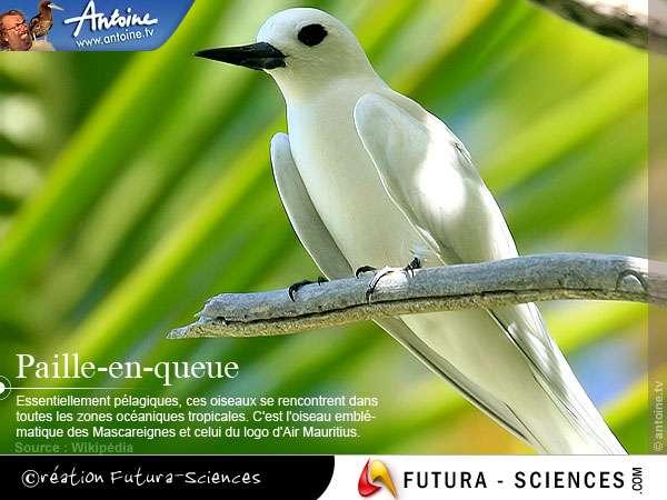 Paille-en-queue oiseau emblématique