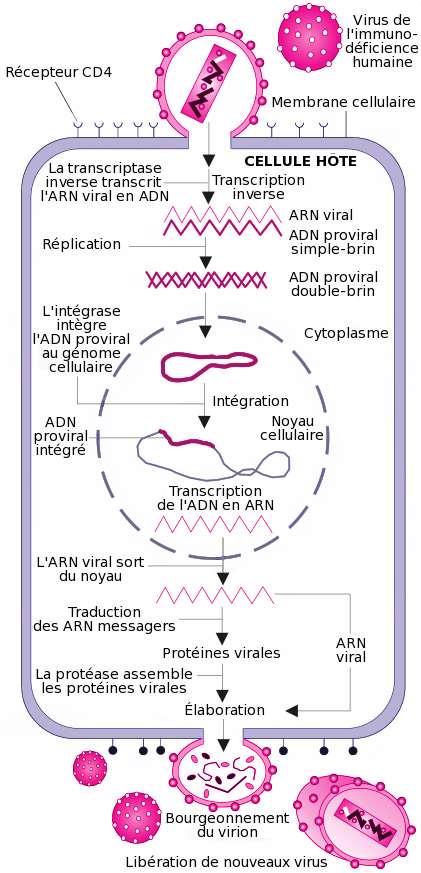 Le cycle du virus du Sida, de son entrée dans la cellule jusqu'à la production de nouveaux virions qui sont ensuite relargués dans l'organisme. L'étape qui nous intéresse ici est l'intégration du génome viral sous forme d'ADN (trait rose épais) dans le génome cellulaire (trait violet fin) grâce à l'intégrase du virus. © Wikimedia Commons