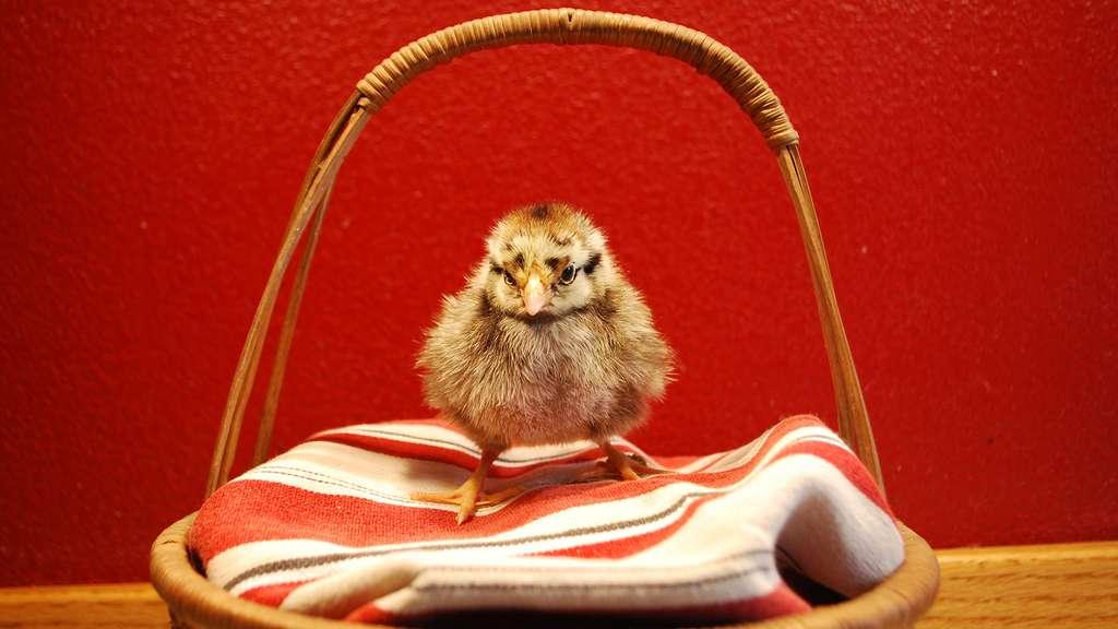 La wyandotte, une belle poule américaine