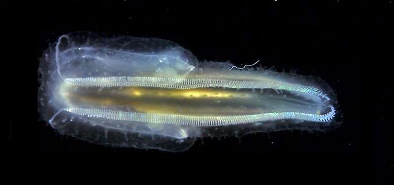 Le cténophore Leucothea