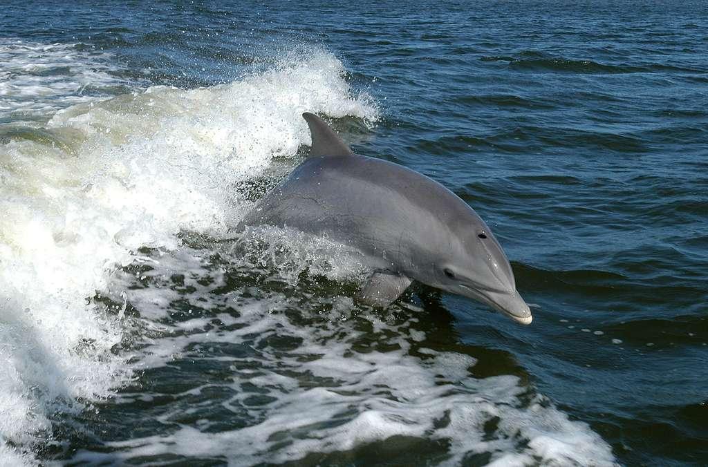 Les grands dauphins océaniques peuvent rester 15 minutes à 200 m de profondeur sans respirer. © Nasa, Wikimedia Commons, domaine public